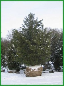 Крупномеры - это взрослые растения высотой от 2 и более метров, со сформировавшейся кроной.
